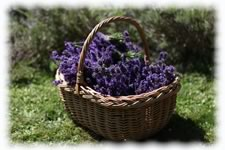 Lavender Harvest Photo Gallery