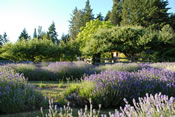 Lavender Farm in the Forest