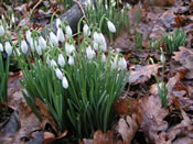 Lovely Snowdrops with Oak Leaves